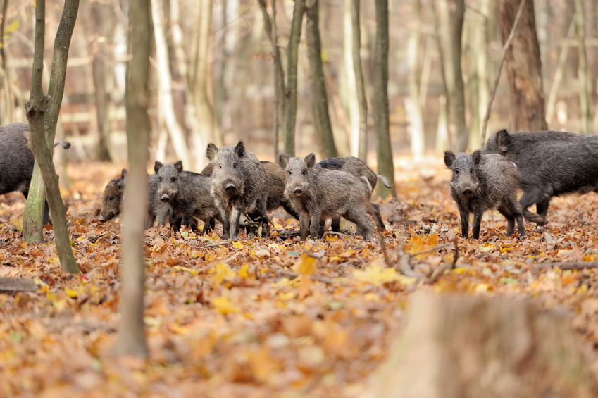 wild boar hog hunting