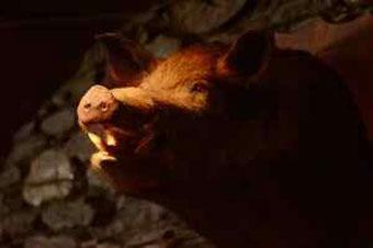 Hog Wild Preserve Hog Hunting   Hog taxidermy FAQs