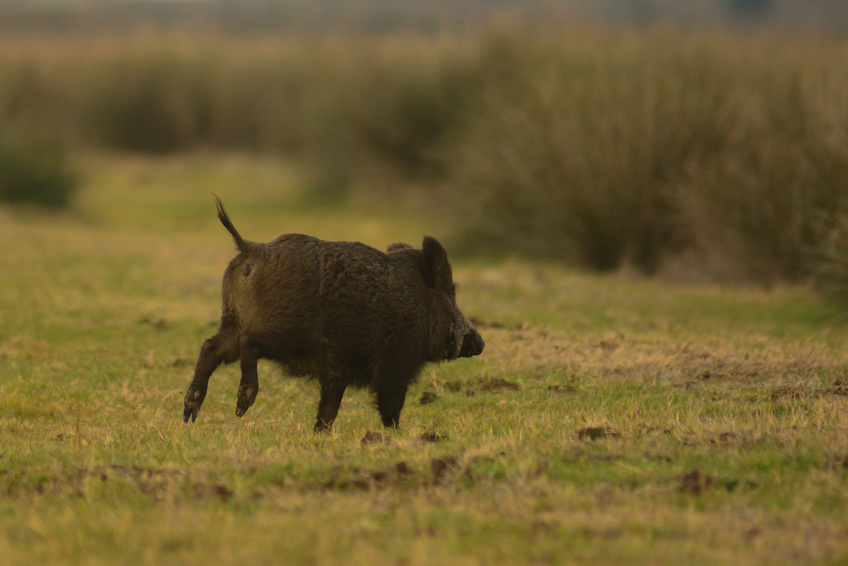 There Are A Lot Of Myths About Wild Boar Hunting Trips Floating Around The Internet Chief Among Them Is The Claim That Hog Hunts Have Little To Nothing To